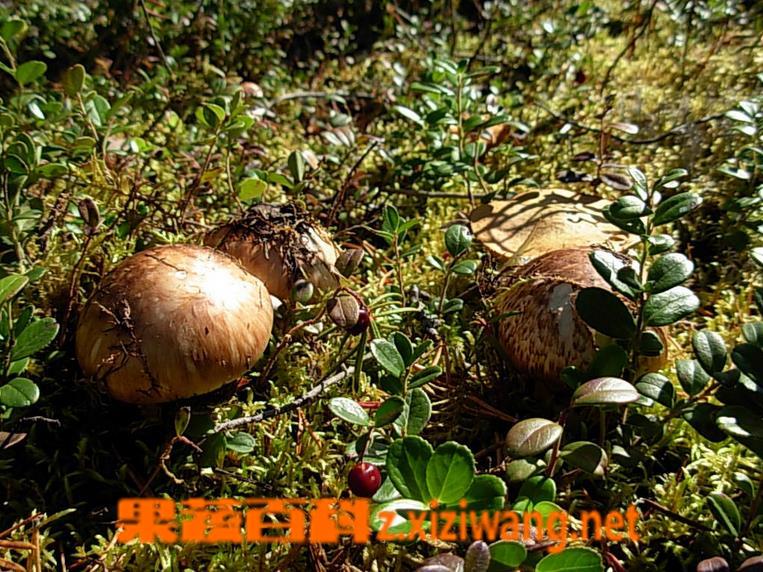 果蔬百科松口蘑的功效与作用