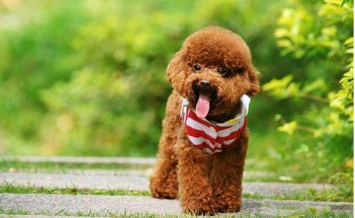 玩具贵宾犬价格 玩具贵宾犬饲养上需要注意事项